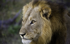 The cost of lions in Zambezi