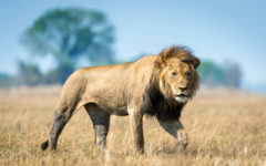Lion-human conflict rages on